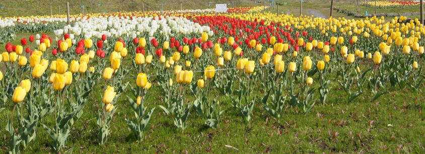news170425_Tulip